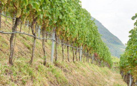 Sauvignon vineyard line Hörtenberg