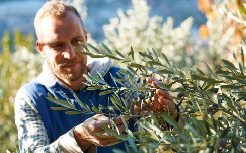 Thomas R. harvesting Olives