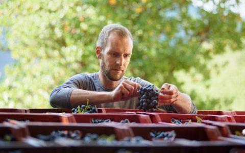 Thomas checking grapes